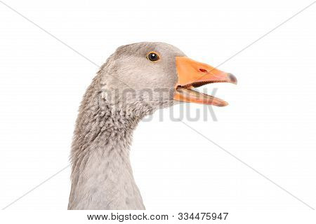 Portrait Of A Talking Goose, Closeup, Side View, Isolated On White Background