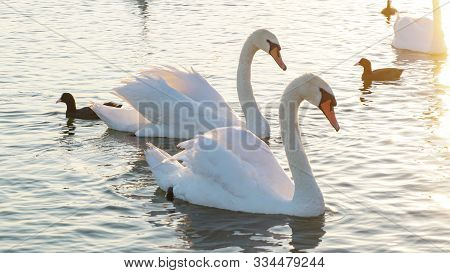 Two White Swans On A Lake. Swan On The Lake Close Up. White Swan In The Pond Of The City Park. Swan