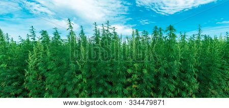 Cultivated Industrial Hemp Farm Field, Cannabis Sativa Plant Species Grown For Use Of Its Derived Pr