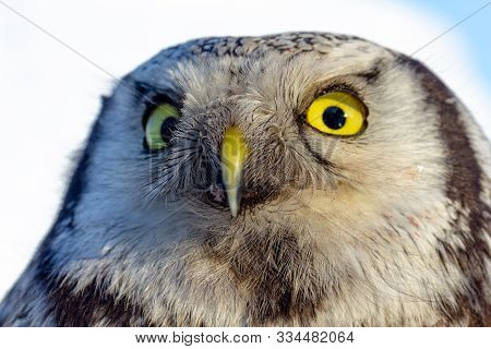 Close Up Photo Of An Owl Bird With Beautiful Yellow Eyes And Beak