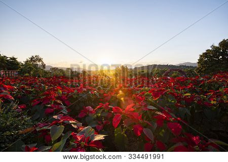 Landscape Red Poinsettia In The Garden With Sunset And Mountain Background / Poinsettia Christmas Tr