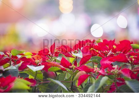 Red Poinsettia In The Garden With Light Bokeh Celebration Background / Poinsettia Christmas Traditio