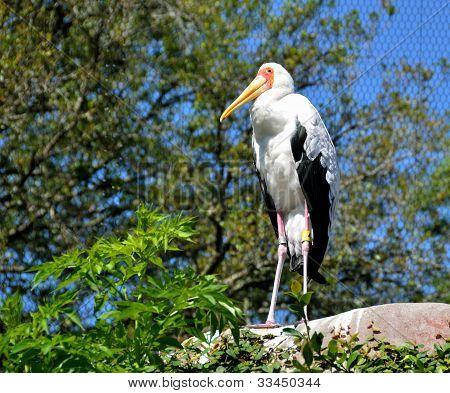 Yellow Billed Stork at a bird sanctuary in Florida, USA. poster