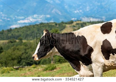 Holstein Friesian Cattle, Portrait Of A Black And White Dairy Cow On A Defocused Mountain Landscape.
