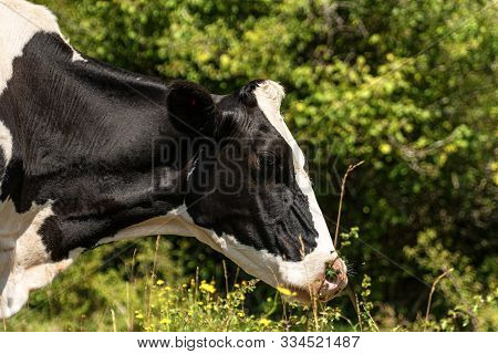 Holstein Friesian Cattle, Portrait Of A Black And White Dairy Cow On Green Defocused Background. Ita