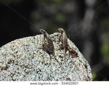 A Pair Of Western Fence Lizards, Perched Upon A Granite Boulder, Mount Pinos, Ventura County, Califo