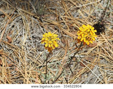 Western Wallflower, Blooming On The Forest Floor, Mount Pinos, Ventura County, California.