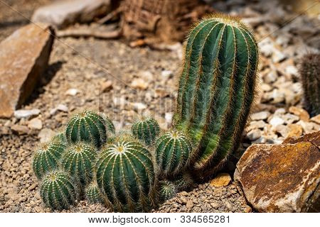 View Of Colony Globular Cactus Spiny Plant In The Stone Garden. Macro Photography Of Lively Nature..