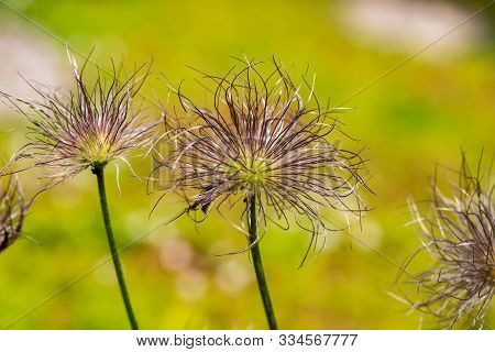 Close-up Of Pulsatilla Spring Flowers On The Green Background. Photography Of Lively Nature.