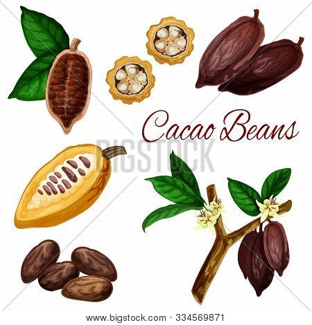 Cocoa Beans, Vector Botanical Illustration, Chocolate Ingredient Cacao Pod Fruits. Natural Cocoa Bea