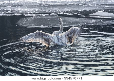 Young Swan On A Lake With Ice Floes Trying To Fly