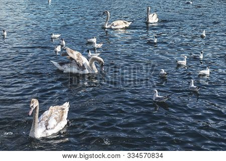 Some Swans And Seagulls On A Lake
