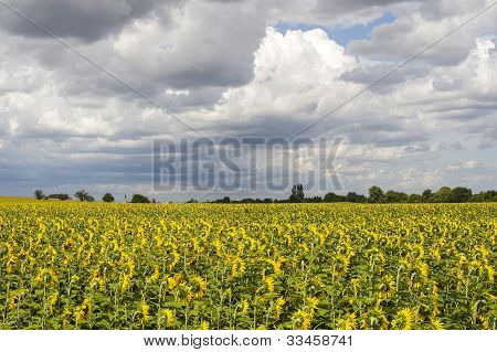 Sunflowers In Burgundy