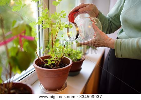 Senior Woman At Home. Elderly Is Standing By The Window And Taking Care Of Home Flowers. Active Long