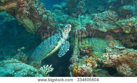 Turtle Stops Feeding On The Usat Liberty Wreck At Tulamben, Bali
