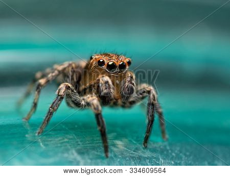 Absolutely adorable, tiny little Naphrys pulex jumping spider holding his pedipalps up