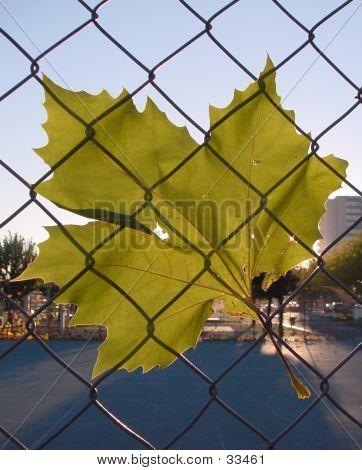 Leaf Under Net