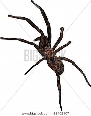 Brown Spider Illustration