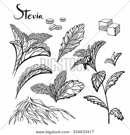 Set Of Hand Drawn Stevia Plants With Hatching. Natural Healthy Sweetener. Useful Herbal Organic Prod