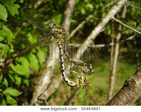 Close up of a pair of Club-tailed Dragonflies (Gomphus vulgatissimus) mating poster