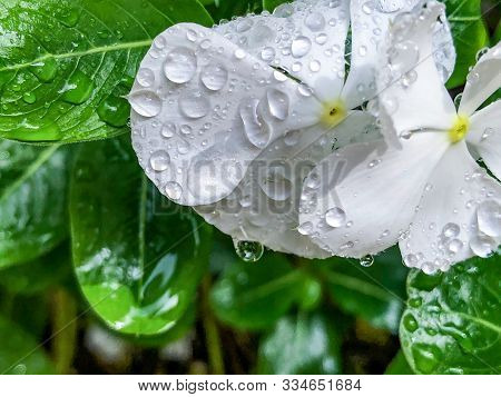 Rain On White Flowers With Water Drops