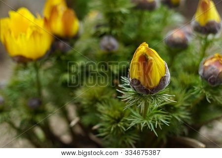 Yellow Flowers Adonis Vernalis Grow In The Spring Garden.