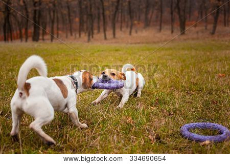 Two Dogs Of Breed Jack Russell Terrier Are Played By Pulling A Puller On The Lawn In The Park In Aut