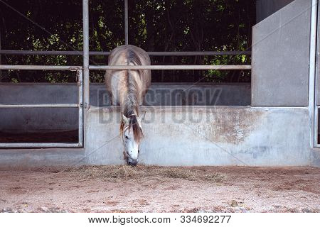 Gray Horse Eating Hay In The Stable On Farm In Thailand