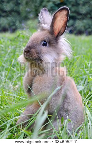 Bunny Rabbit Sitting On Meadow & Eating Green Grass. Close Up Bunny Rabbit On Green Background Verti