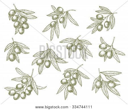 Organic Olives Branch Sketches, Quality Food And Olive Oil Products. Vector Greek Mediterranean Cuis