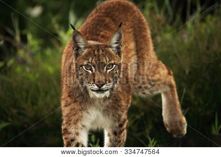 The Eurasian Lynx (lynx Lynx) Walking In The Green Grass In Front Of The Forest. Young Male With Gre