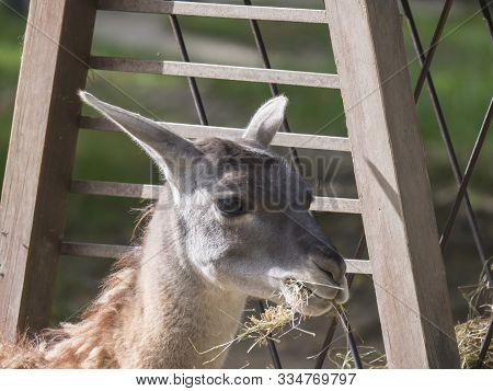 Close Up Guanaco Lama Guanicoe Head Shot Profile Portrait In Stall