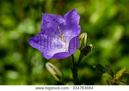 Portrait Of Purple Campanula Bell Flower On The Green Background. Photography Of Lively Nature.