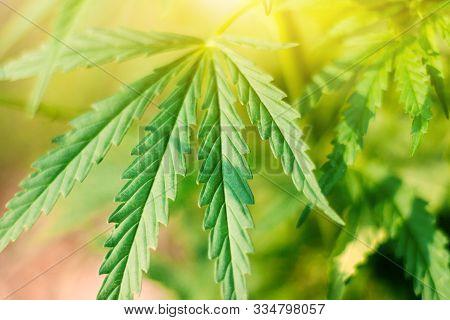 Concept Breeding Of Marijuana, Cannabis, Legalization, Herbal Alternative Medicine, Cbd Oil.marijuan