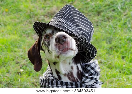 Dalmatian Dog With Brown Spots In A Striped Hat And A Plaid Scarf Around His Neck Looks Imploringly