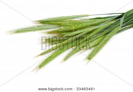 Green Rye Spikes (secale Cereale)