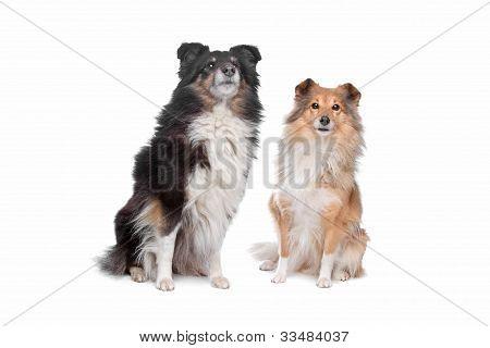 Shetland Sheepdog, Sheltie