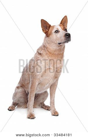 Australian Cattle Dog (red coat) in front of white background poster