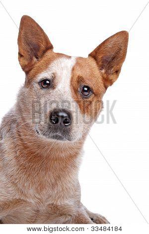 Australian Cattle Dog (red Coat)