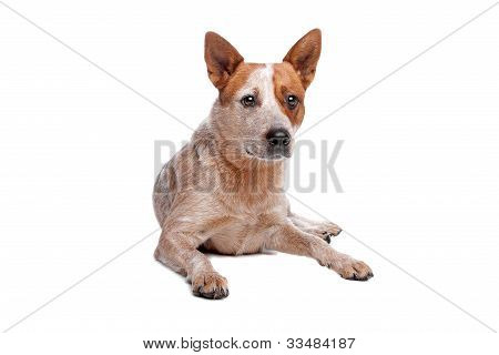 Australian Cattle Dog (red Coat) in front of white poster