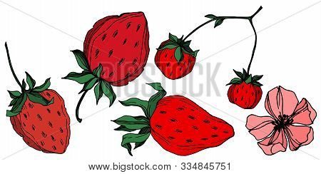 Vector Strawberry Fresh Berry Healthy Food. Black And White Engraved Ink Art. Isolated Strawberry Il