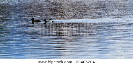 Couple Of Black Ducks On Water