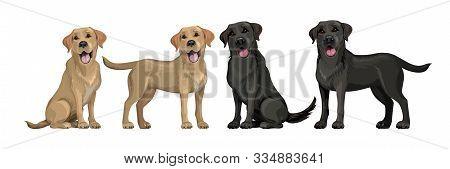 Gold Yellow Labrador Retriever And Black Labrador Retriever. Standing And Sitting Labradors Isolated