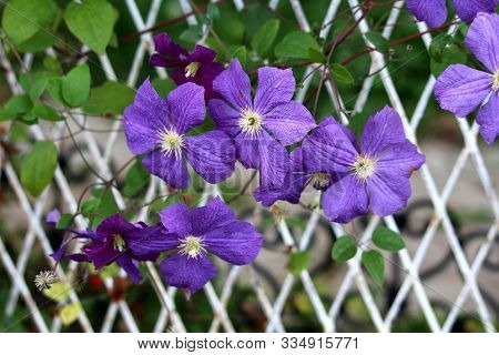 Clematis Or Leather Flower Easy Care Perennial Vine Plants Open Blooming Purple Flowers With Leather