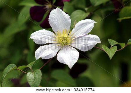 Clematis Or Leather Flower Easy Care Perennial Vine Plant Open Blooming White Flower With Leathery P