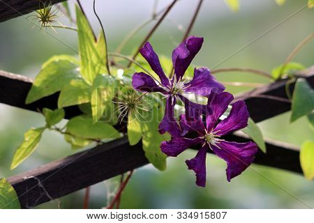 Clematis Or Leather Flower Easy Care Perennial Vine Plants Open Blooming Dark Purple Flowers With Le