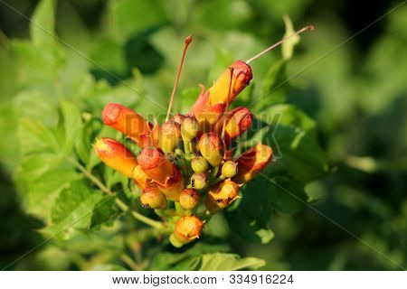 Dense Bunch Of Trumpet Vine Or Campsis Radicans Or Trumpet Creeper Or Cow Itch Vine Or Hummingbird V