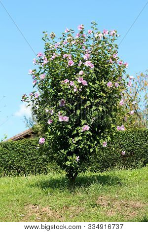 Hibiscus Syriacus Or Rose Of Sharon Or Syrian Ketmia Or Rose Mallow Or St Josephs Rod Flowering Hard