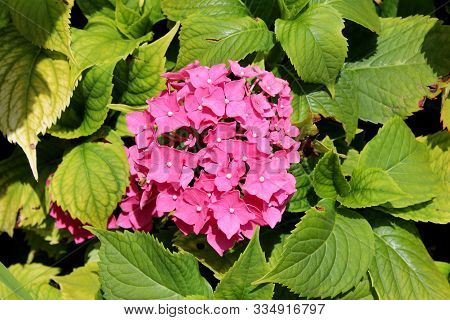 Hydrangea Or Hortensia Garden Shrub Large Bunch Of Small Open Blooming Pink Flowers With Pointy Peta