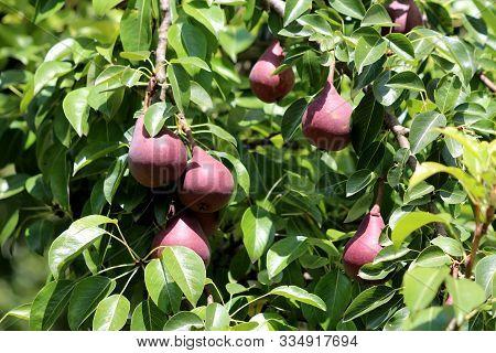 Red Sensation Bartlett Or Pyrus Communis Sensation Or Pyrus Pyrifolia Sensation Deciduous Tree With